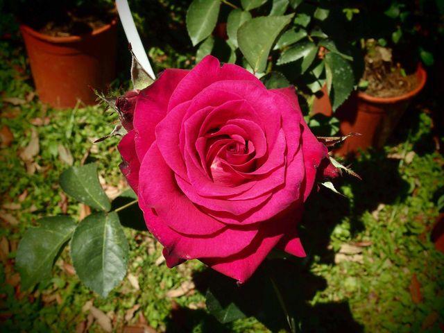Rose in Villa Giusti XIII Edizione